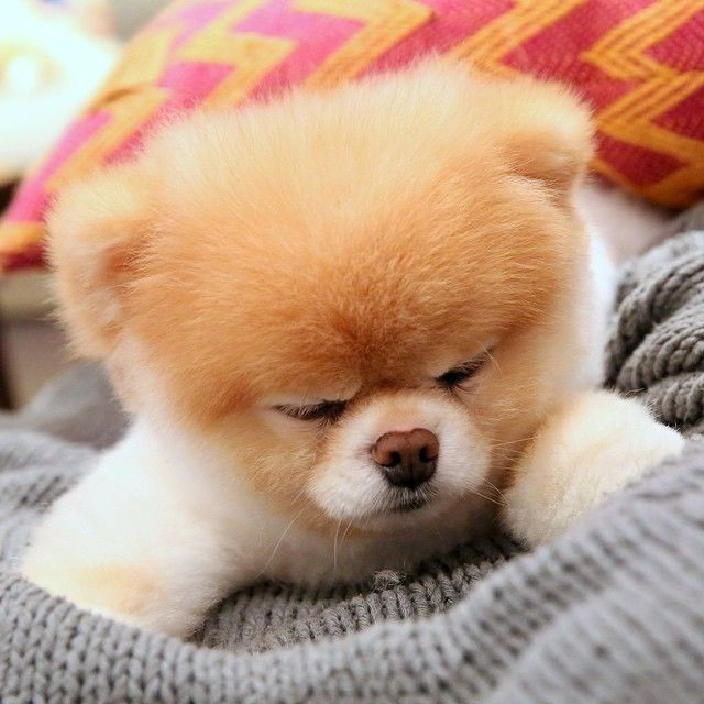 Sleepy Pomeranian Boo Cute Baby Animals World Cutest Dog Cute Animals
