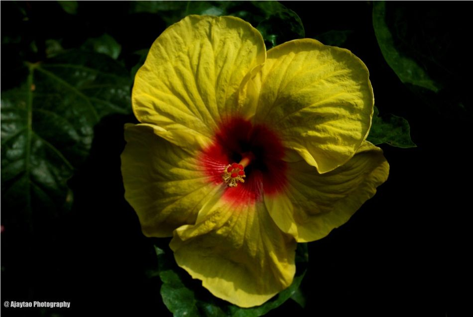 Ajaytao Botanical Photography Hibiscus Rosa Sinensis Hibiscus Garden Yellow Hibiscus