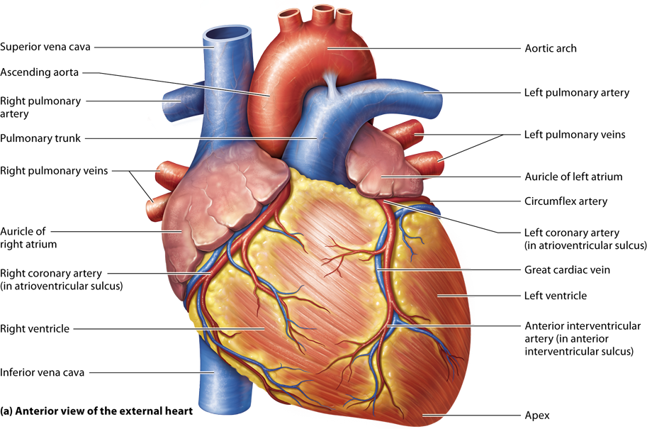 Module 17.2 Heart Anatomy and Blood Flow Pathway | A&P | Pinterest ...