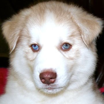 Siberian Husky Puppy For Sale In Tulsa Ok Adn 47635 On
