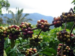 Everyone knows Sumatran coffee is among some of the most complex and delicious, but why?