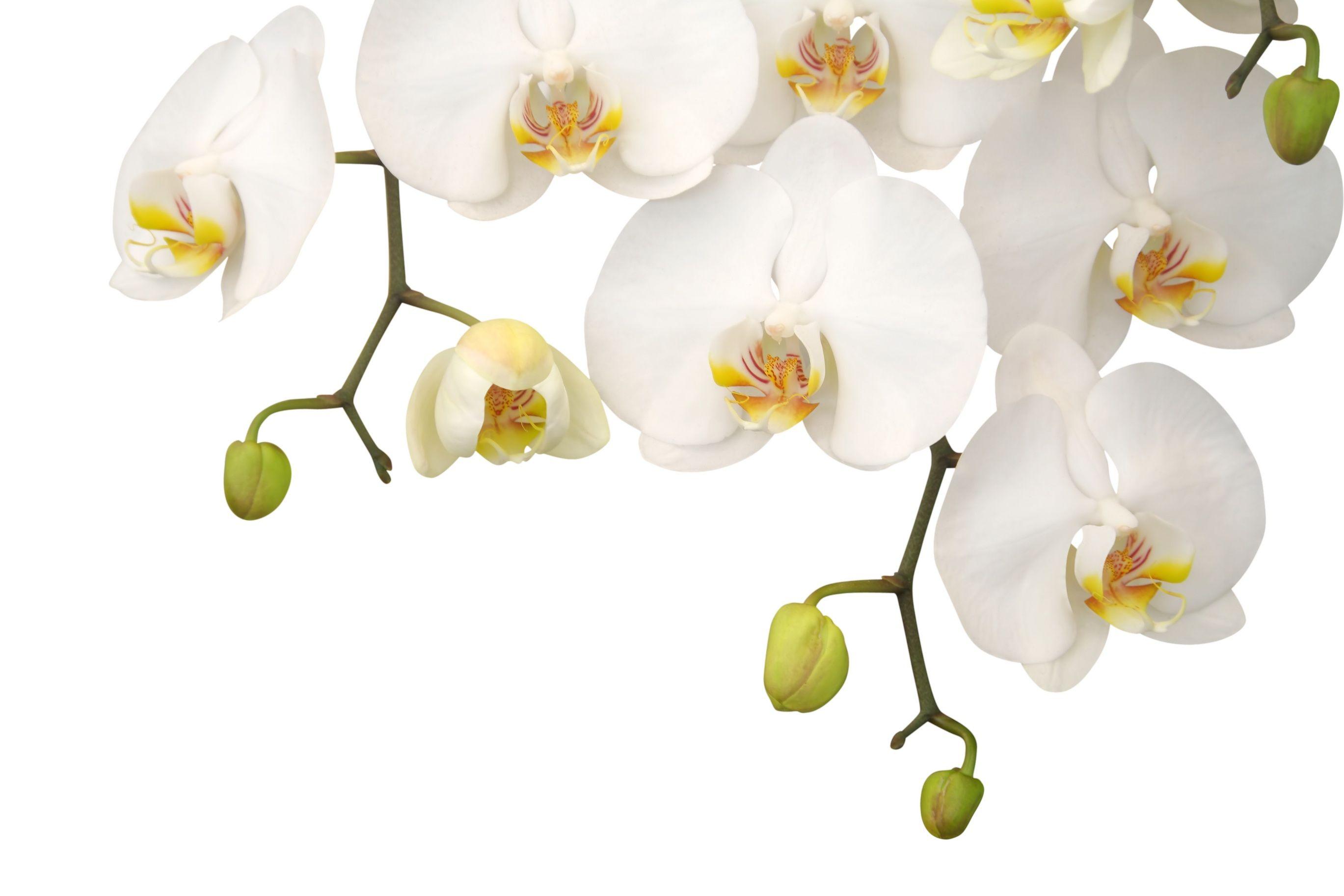 Картинки по запросу клипарт свадебный | White orchids ...