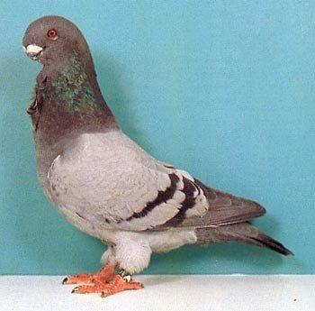 голуби чайки фото
