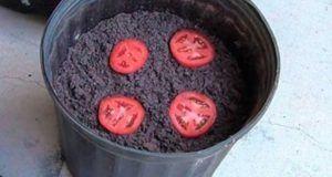Pon 4 rodajas de tomate en una maceta, espera 10 días y lo que pasara te llenara de alegría, no vas a creerlo