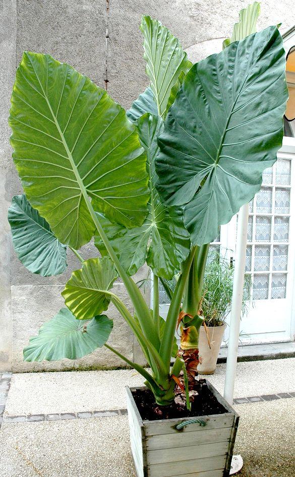 Alocasia oreille d 39 l phant alocasie grandes racines for Alocasia d interieur
