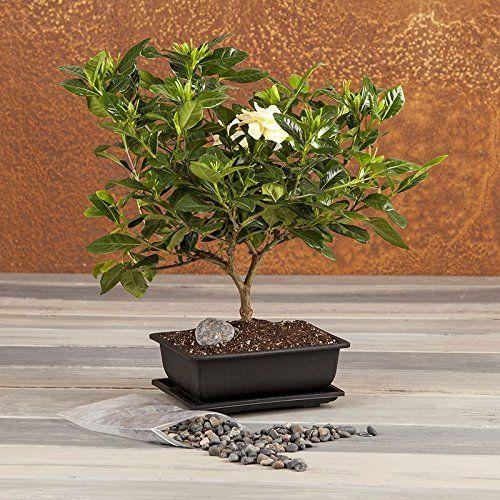 Fragrant Gardenia Bonsai Bonsai Tree Flowering Plant Flowering