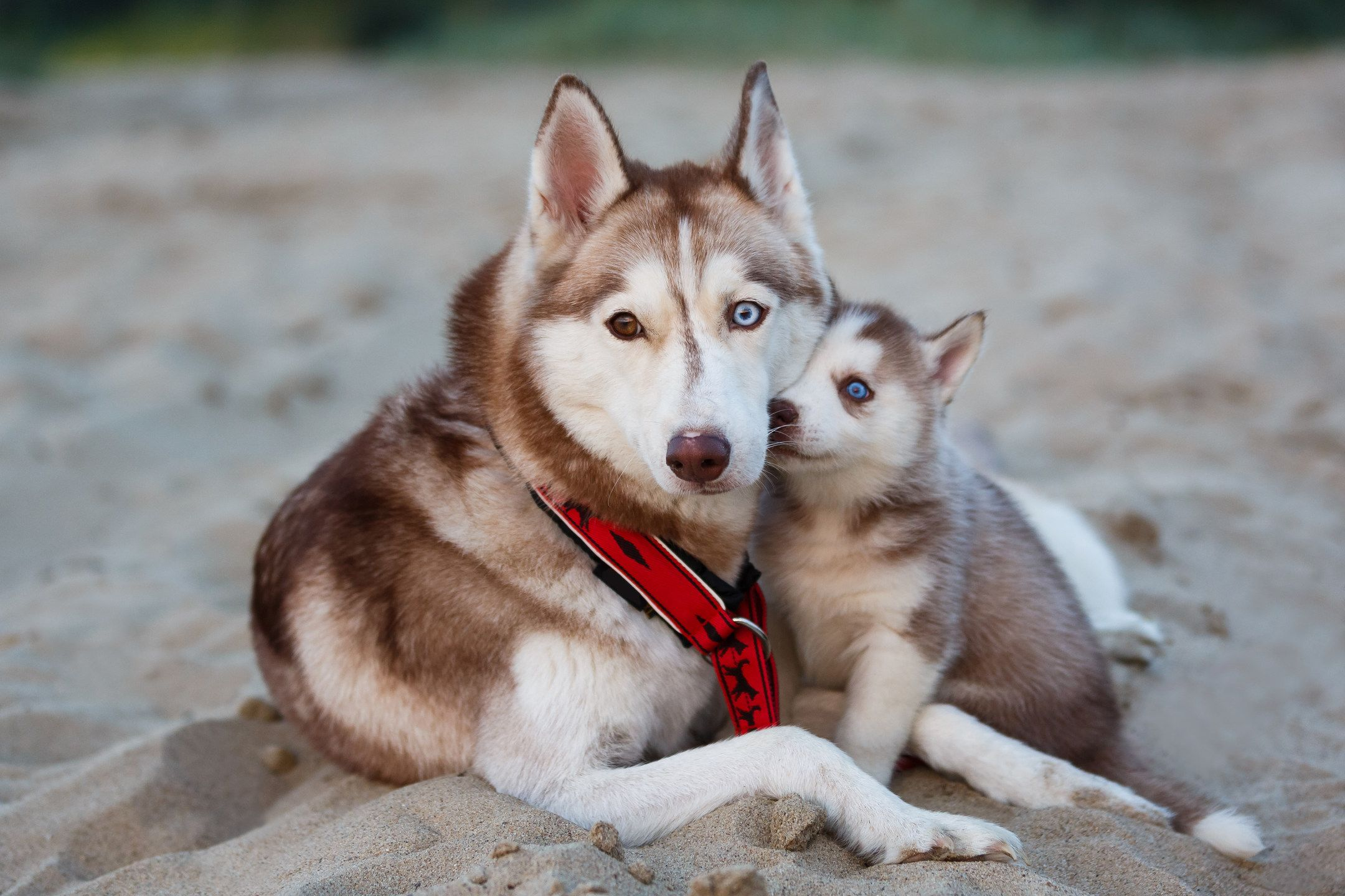 Coat Color Combinations The Breed Has Several Coat Color Combinations They Include Agouti Pure White White And Grey White Husky Siberian Husky Husky Dogs