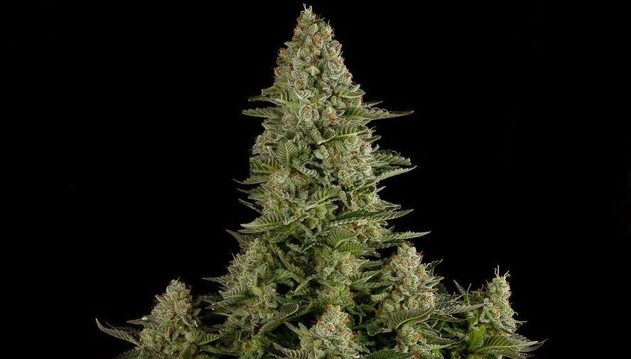 Marijuana Grow Journal Show the weekly progress of 3 White Widow Auto Plants. For a detailed guide of this setup visit the Growing Marijuana - Setup page. & Marijuana Grow Journal | Setup: 300W LED  Coco-Perlite 2 x 2 x 4 ...