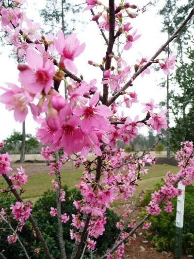 Flowering Cherries Ornamental Plants Of The Week For January 12 2015 Flowering Cherry Tree Ornamental Horticulture Ornamental Plants