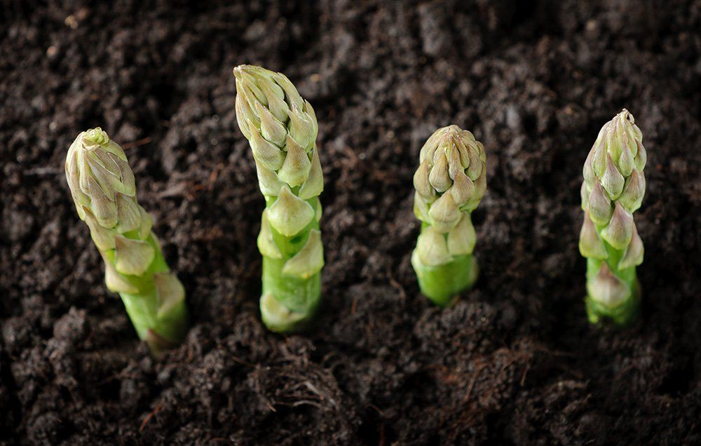 The Trick To Growing Asparagus In Containers Http Www Rodalesorganiclife