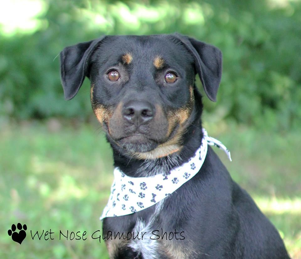 Tank Ref 1637 Rottweiler Ross County Humane Society Chillicothe Ohio Rs Tank Rottweiler Mix 4 Years Old Ref Rottweiler Mix Dog Tags Humane Society