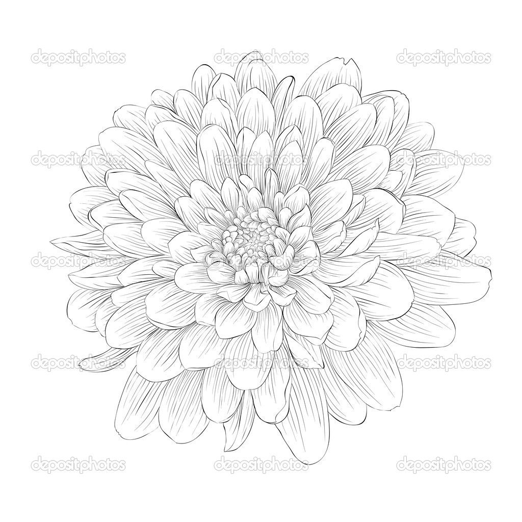 Beautiful Monochrome Black And White Dahlia Flower Isolated On White Background Aster Tattoo Dahlia Flower Tattoos Aster Flower Tattoos