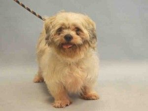SAFE 12-26-2015 by Zani's Furry Friends Pet Rescue --- SUPER URGENT 12/22/15 Manhattan Center MARTY – A0958930  ***RETURNED 12/22/15***  NEUTERED MALE, WHITE / BROWN, SHIH TZU, 4 yrs OWNER SUR – ONHOLDHERE, HOLD FOR ID Reason COST Intake condition EXAM REQ Intake Date 12/21/2015, From NY 10456, DueOut Date 12/28/2015,