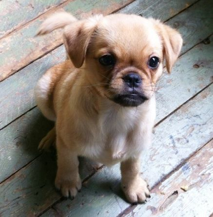 Pug And Brussels Griffon Brug Cute Pugs Pug Mixed Breeds Cute