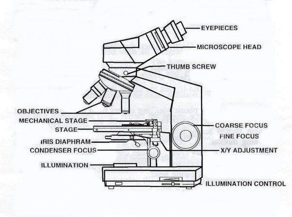 Compound Light Microscope Parts Diagram | Diagram | Pinterest