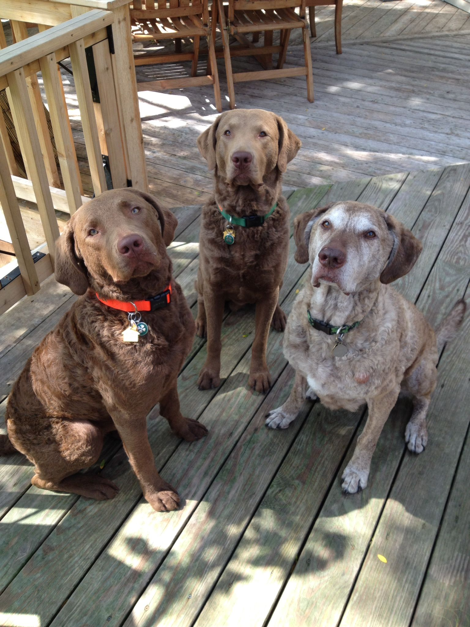 My three Chessie boys. Cute puppy pictures, Large dog