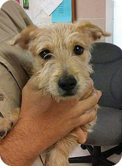 Hagerstown Md Scottie Scottish Terrier Cairn Terrier Mix Meet