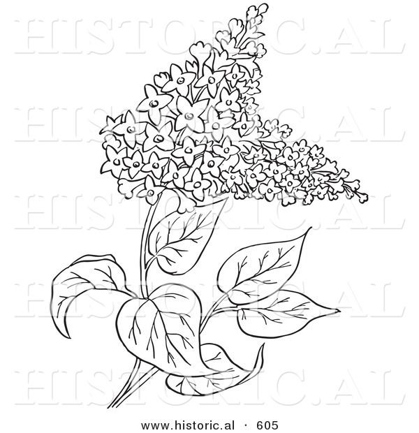Historical Vector Illustration Of Lilac Flowers Outlined Version Lilac Tattoo Flower Doodles Floral Painting