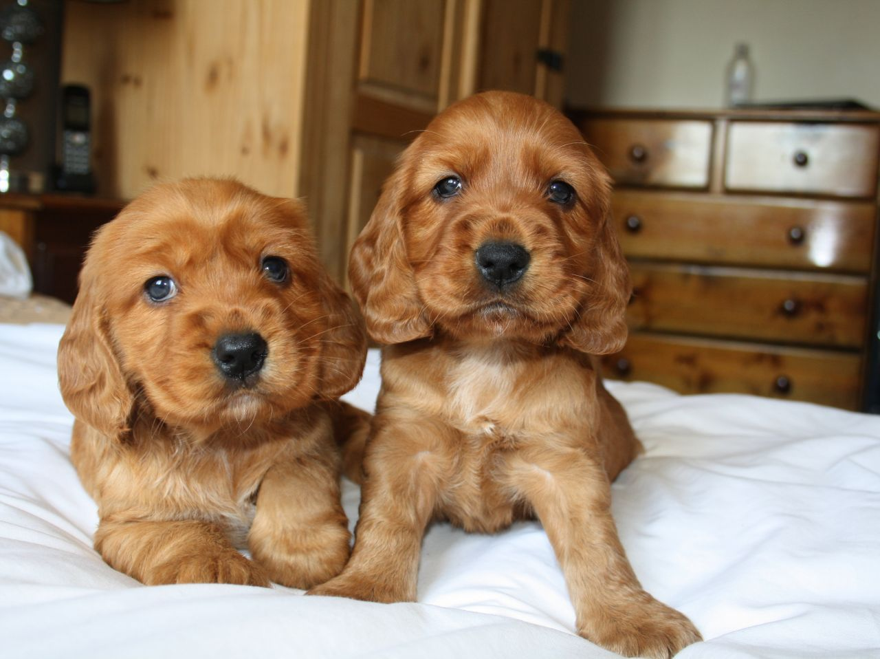 Beautiful Cocker Spaniel Puppies For Sale Spaniel Puppies For Sale Cocker Spaniel Puppies Puppies For Sale