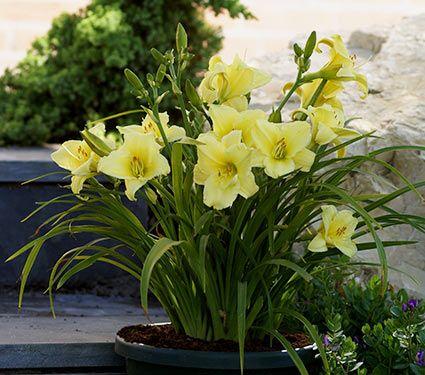 Hemerocallis daylily fragrant returns reblooming white gardens hemerocallis fragrant returns reblooming white flower farm mightylinksfo Gallery