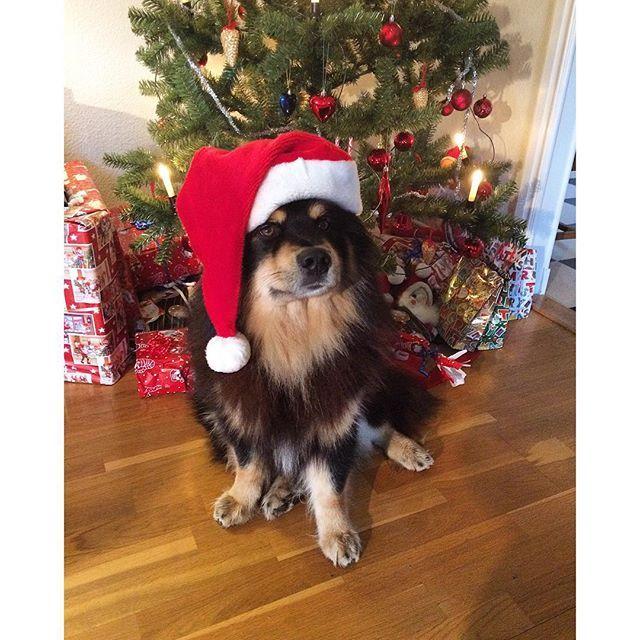 Finaste tomten Rambo framför granen, god jul ❤️