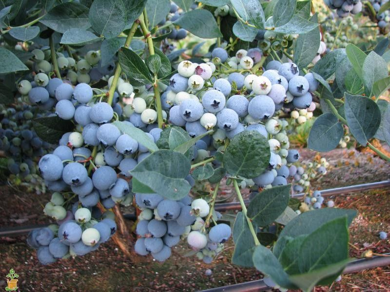 Georgia Gem Blueberry Bush Blueberry Bushes Blueberry Plant