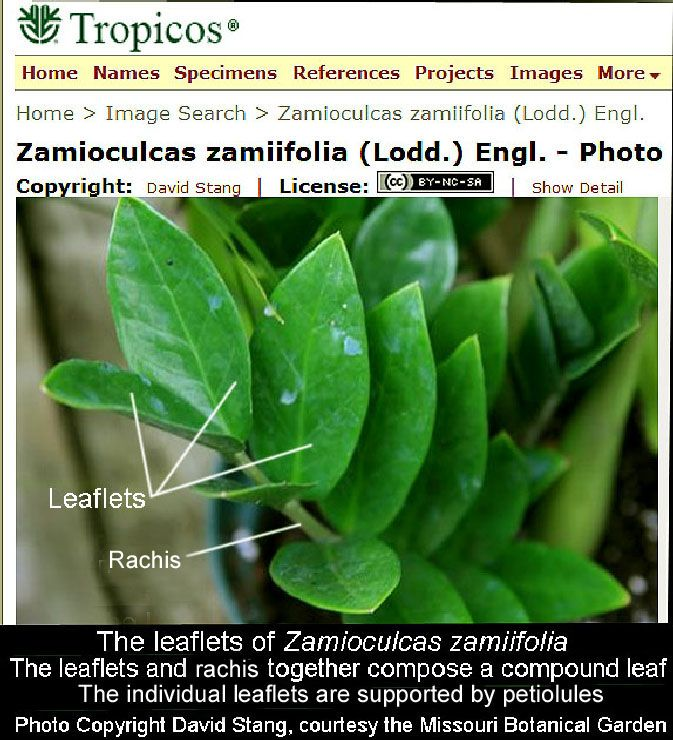 Care And History Of Zamioculcas Zamiifolia Zz Plant Poisonous Zee