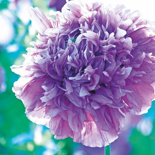Garten Mohnblumen Pflanzen Tipps Fur Aussaat Und Pflege Pflanzen Blumen Garten Pflanzen