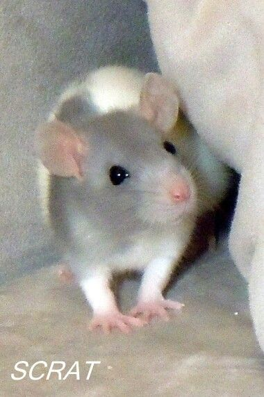 My Rat Scrat