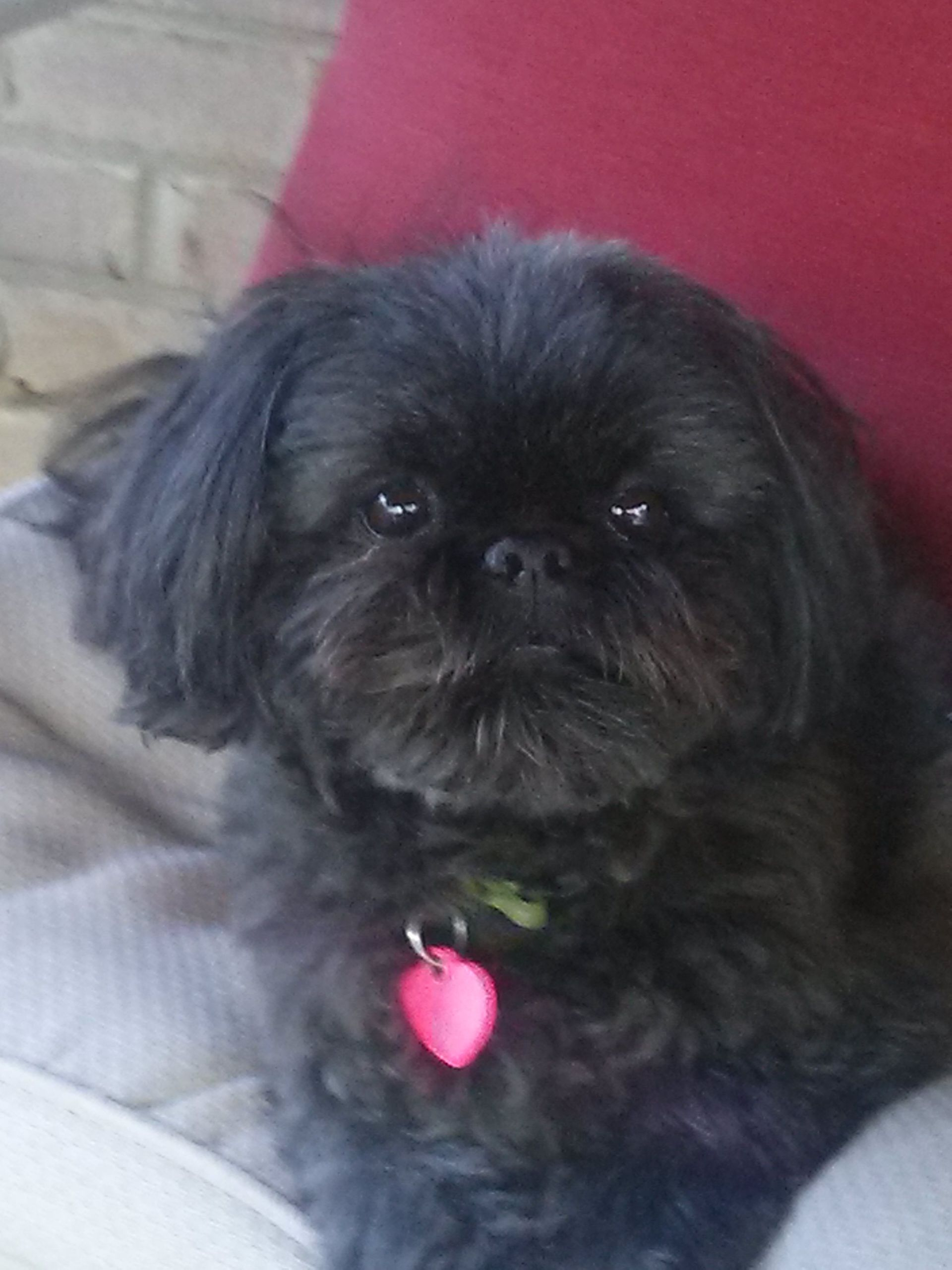 This black Shih Tzu looks just like mine. Shih tzu puppy