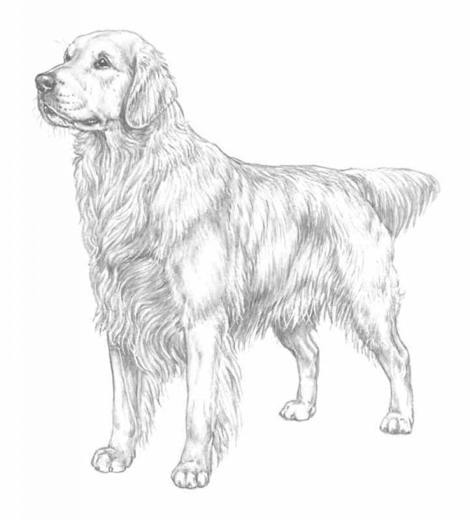 27+ Amazing Picture of Golden Retriever Coloring Page