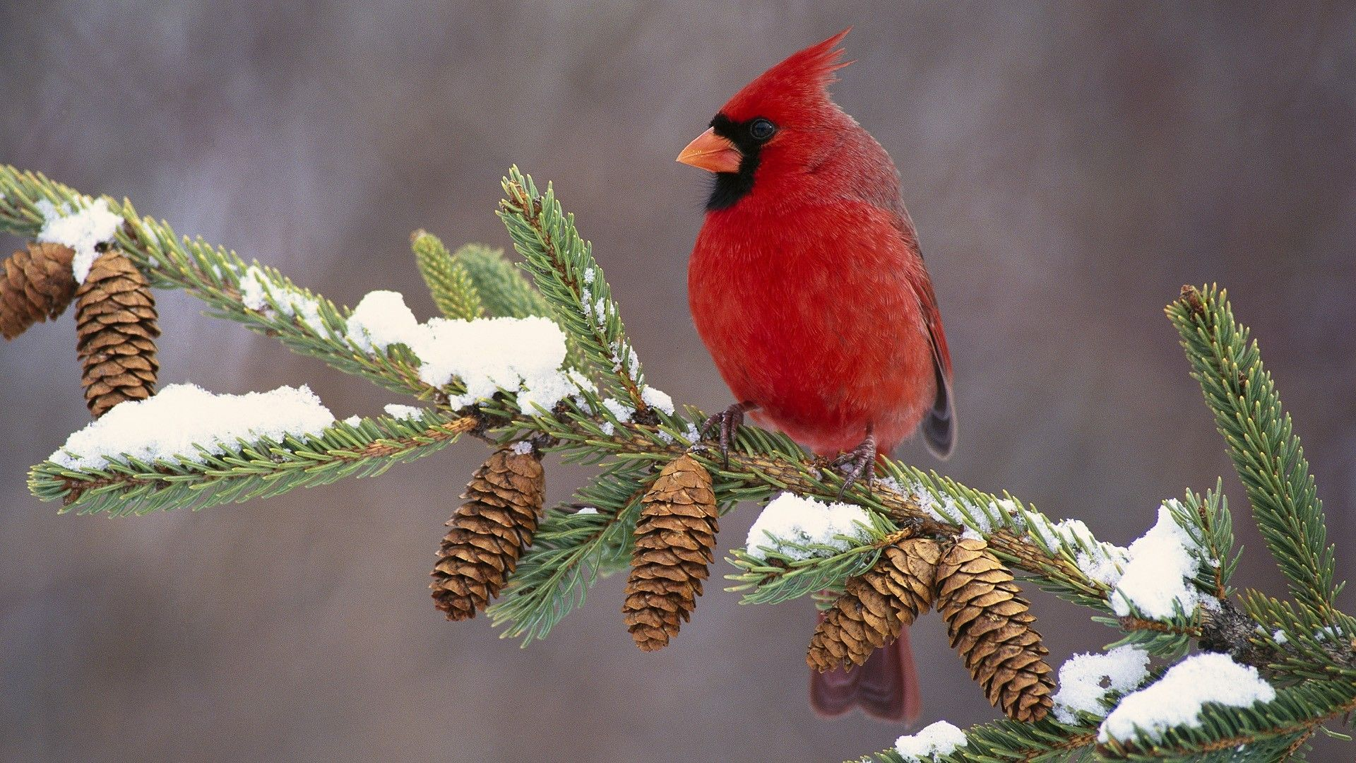 Cardinal In Snow Google Search Beautiful Winter Scenes Cardinal Birds Global Gallery