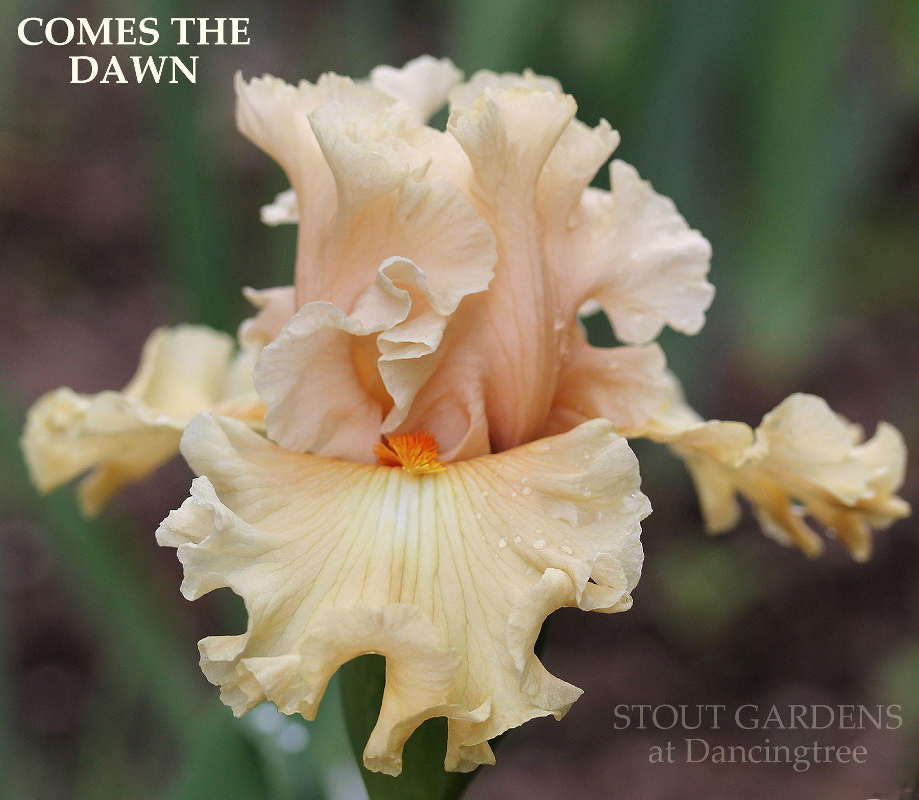 Iris COMES THE DAWN