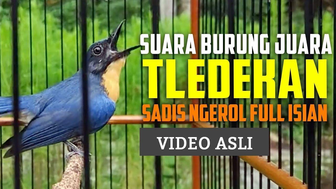 Pin Di Bird Sounds Kumpulan Suara Burung