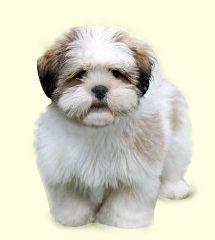 Lhasa Apso Puppies For Sale Lhasa Apso Puppies Lhasa Apso
