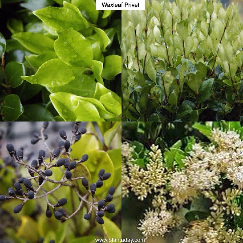 Waxleaf Privet Ligustrum japonicum Type Evergreen Shrub Exposure