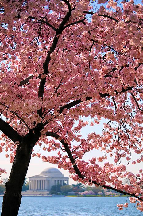 Cherry Blossoms By Mitch Cat In 2021 Blossom Trees Cherry Blossom Blossom