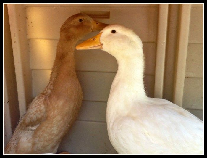 how to tell the difference between male and female ducklings