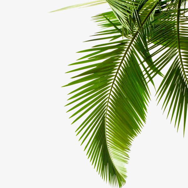 Green Palm, Palm, Tropical PNG Transparent Image and Clipart