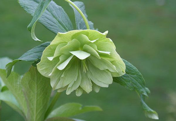 Buy Lenten rose hellebore Helleborus × hybridus 'Harvington double lime-green': Delivery by Crocus.co.uk