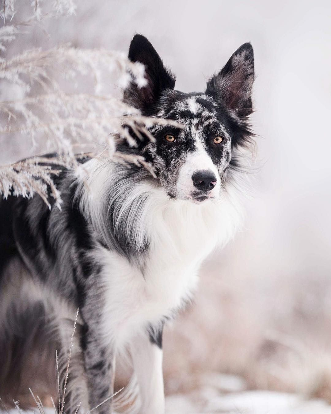 See Instagram Photos And Videos From Ego Border Collie