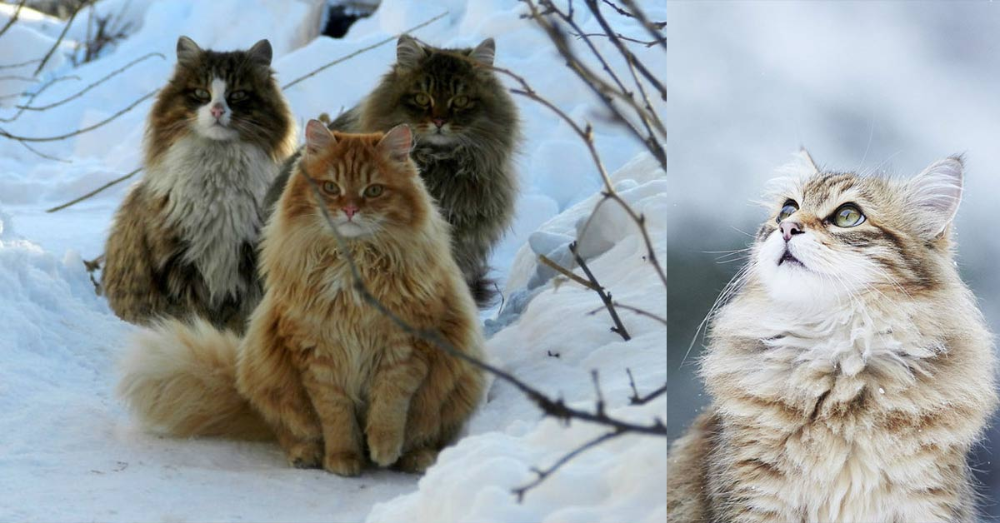 The National Cat Of Norway Norwegian Forest Cats Are Said To Have Been Pets Of The Vikings Penelope Wilsonhe In 2020 Norwegian Forest Cat Forest Cat Norwegian Forest