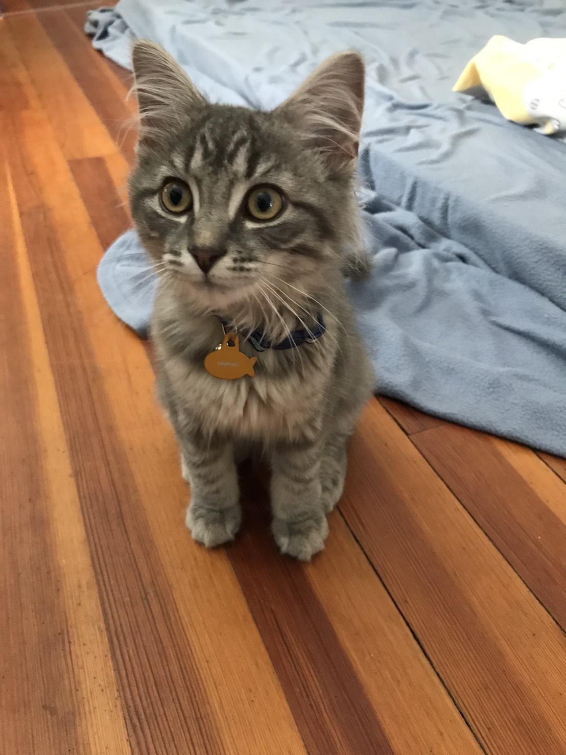 Siamese Kittens For Sale Okc
