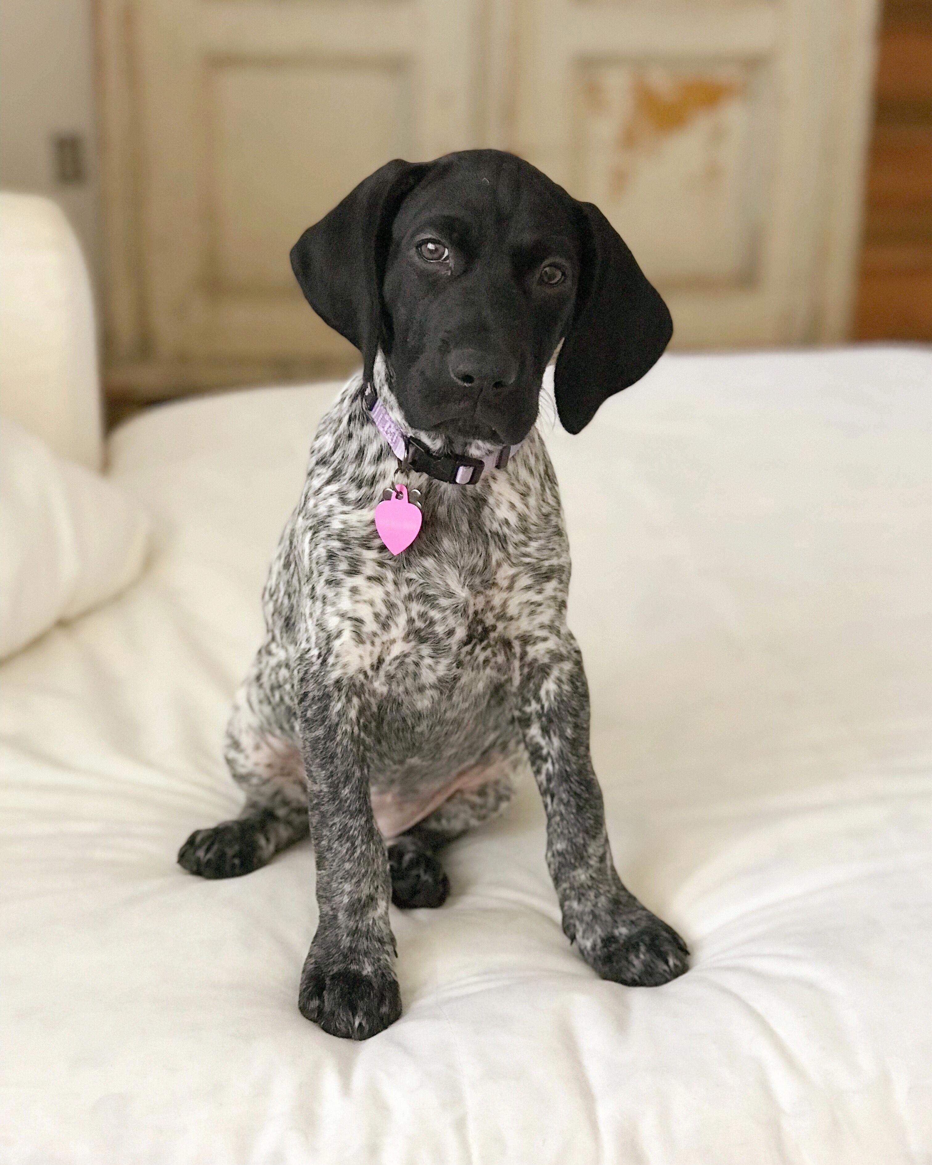 Receive Wonderful Suggestions On Pointers They Are Actually Accessible For You On Our Website German Shorthaired Pointer Pointer Puppies Pointer Dog