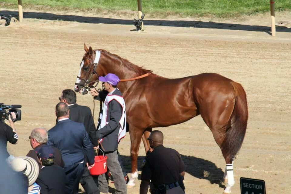 California Chrome walk over with his connections at the Kentucky Derby 5/3/2014