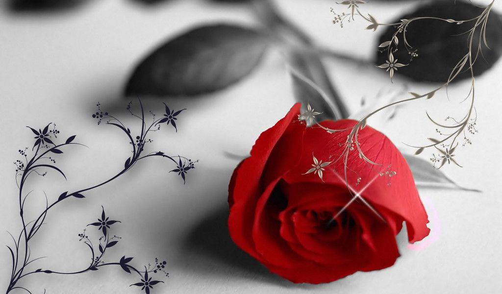 Red Rose On A Black And White Background 1024x600 Free Image Download Single Red Rose Rose Flower Wallpaper Flowers For Valentines Day