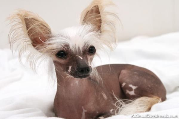 20 The Most Expensive Dog Breeds In The World Chinese Crested