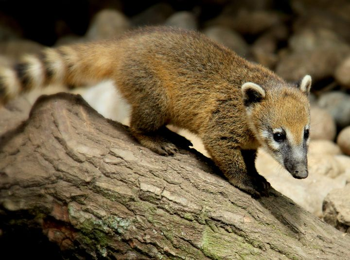 So cute! This one is a mountain coati. Neusbeer.