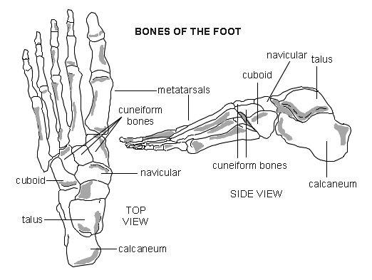 Foot Bones Diagram Google Search The Skeletal System Pinterest
