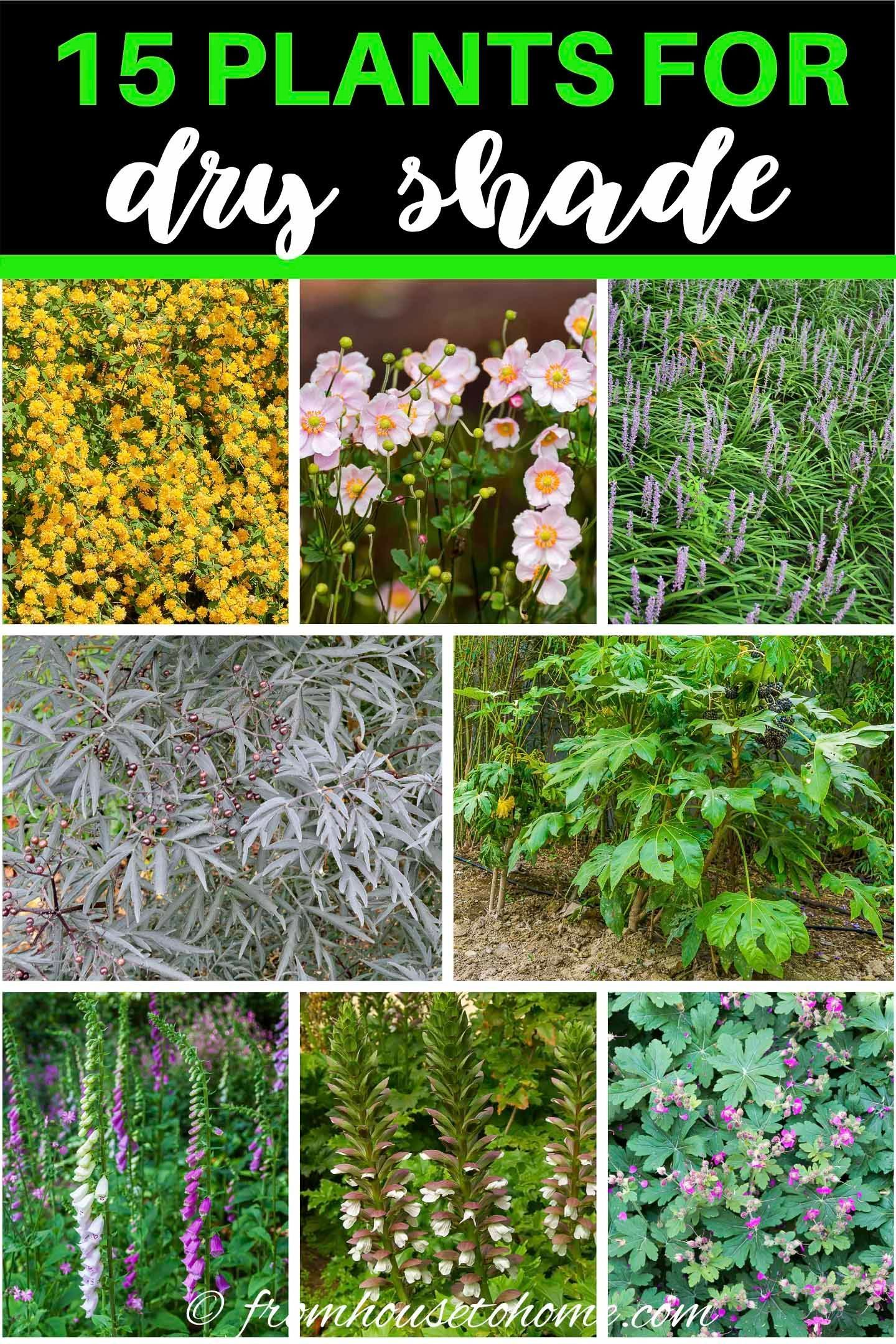 15 Of The Best Plants For Dry Shade Gardens Gardening From House To Home Dry Gardening Gardens Home House P In 2020 Dry Shade Plants Shade Plants Shade Garden